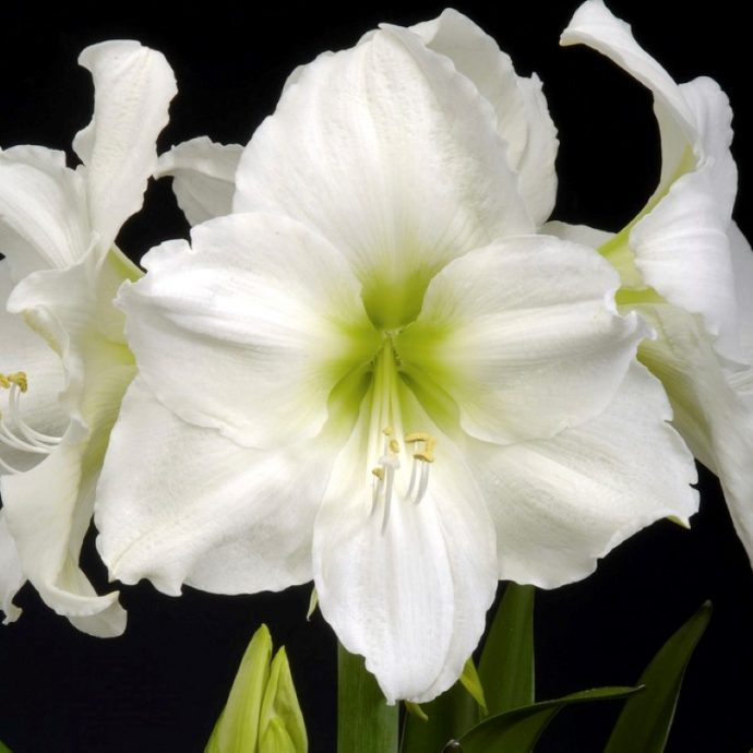 Amaryllis Dutch 'Christmas Gift'