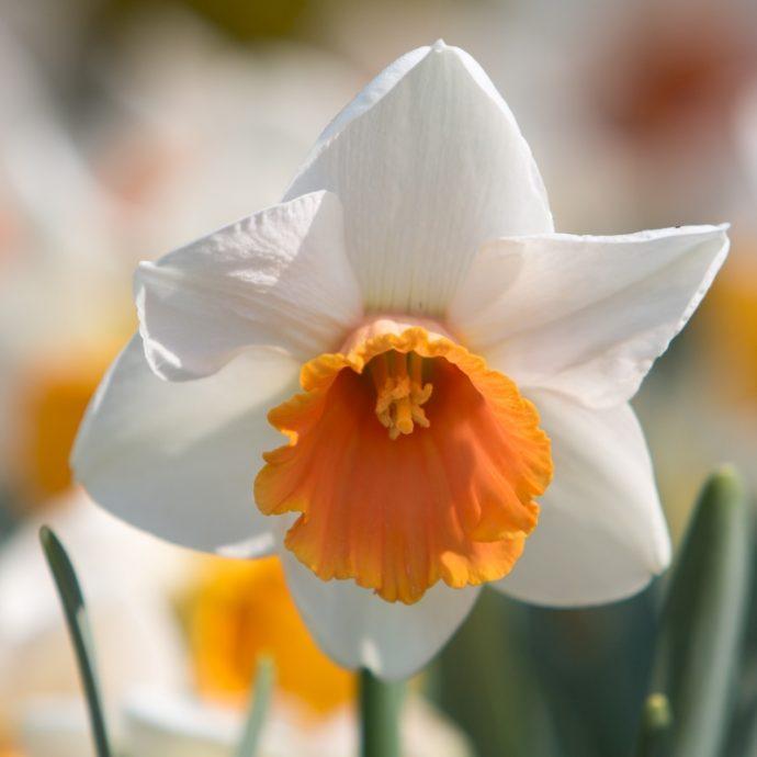 Narcissus Trumpet 'Chromacolor'