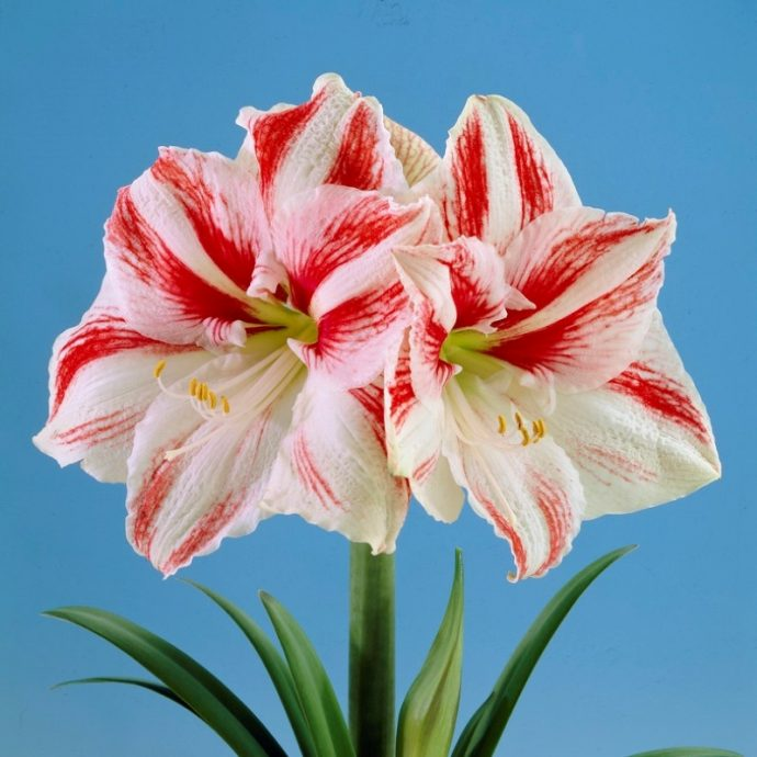 Amaryllis Dutch 'Clown'