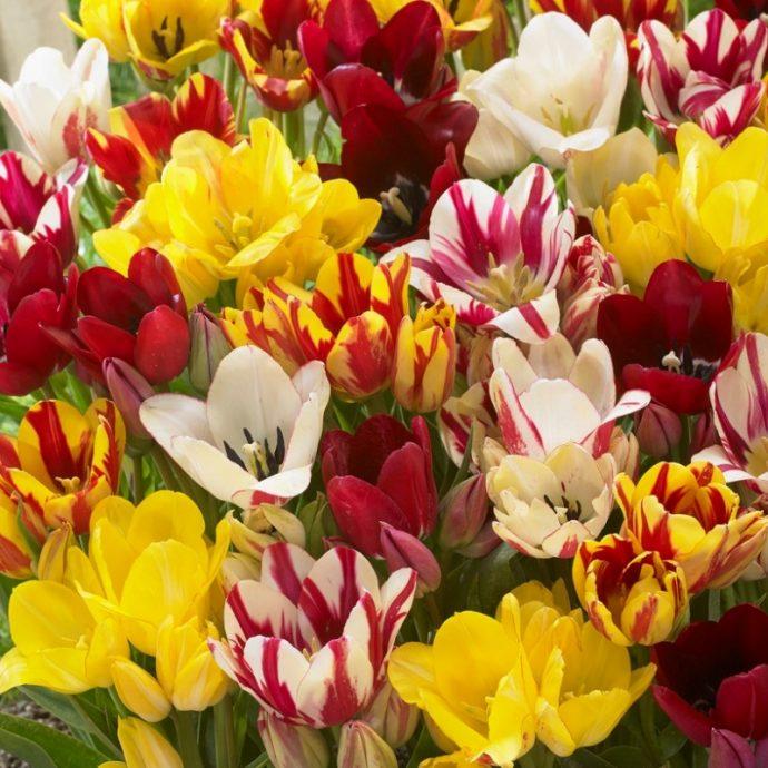 Tulipa Bunch Flowering 'Club Mixture'