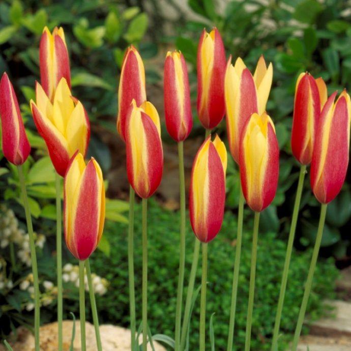 Tulipa Miniature 'Clusiana Cynthia'