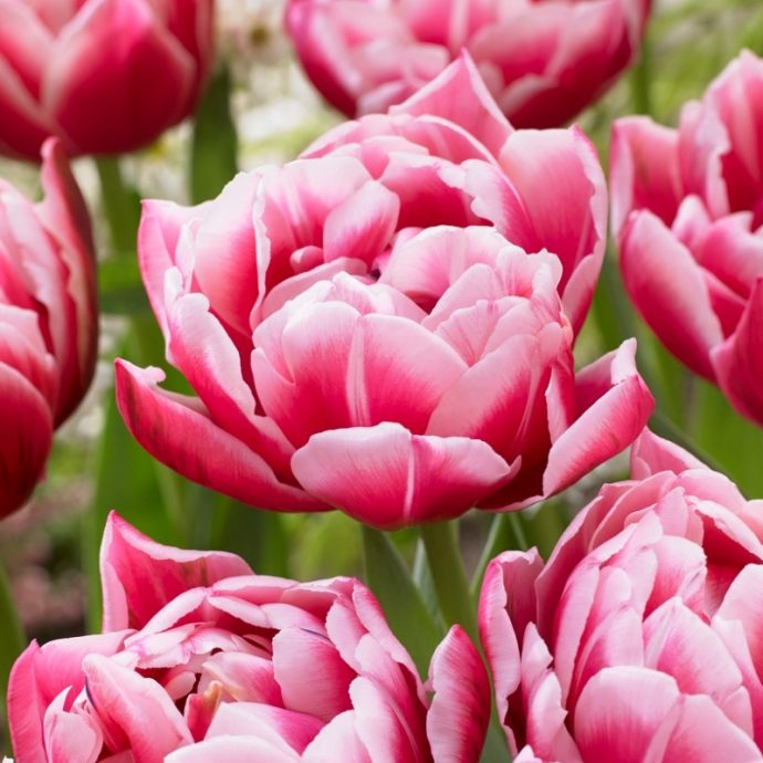 Tulipa Double Early 'Columbus'