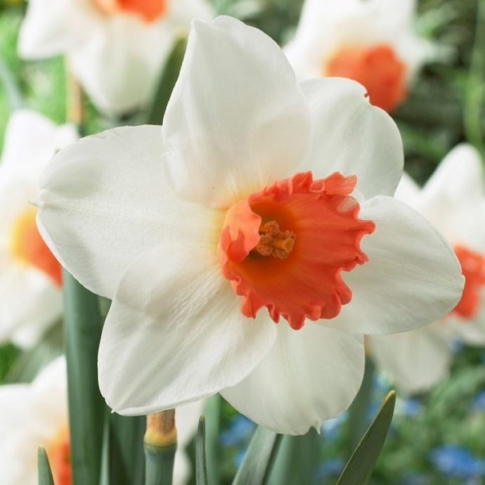 Narcissus Large Cupped 'Cool Flame'
