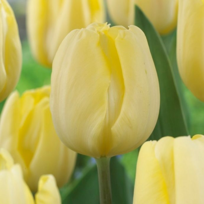 Tulipa Triumph 'Cream Flag'