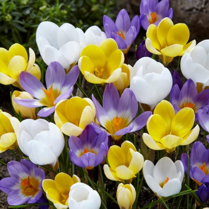 Crocus Species 'Botanical Mixture'