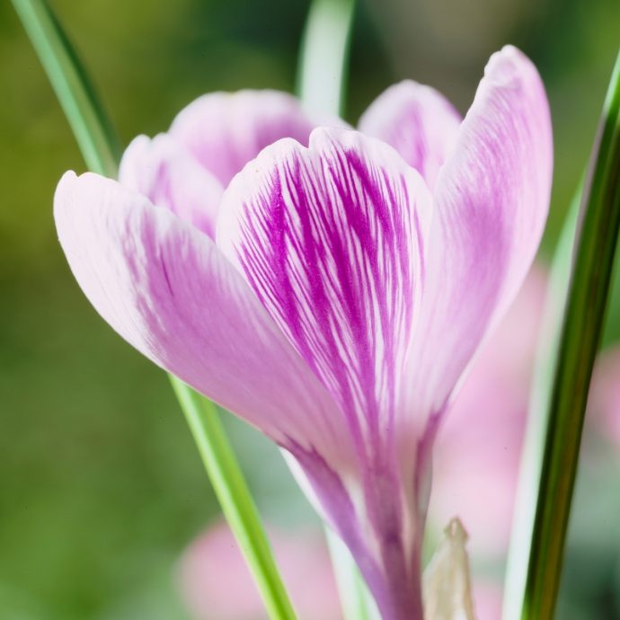 Crocus Large Flowering 'King Of The Striped'