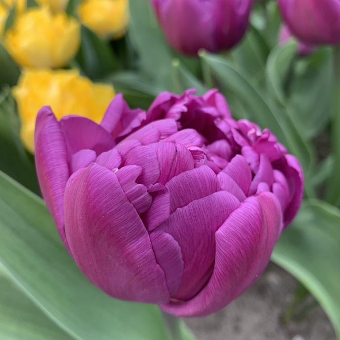 Tulipa Double Early 'Double Flag'