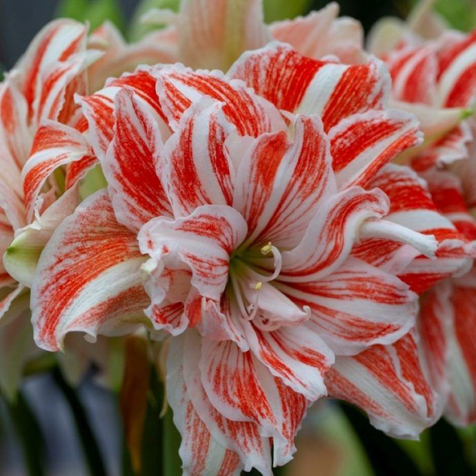 Amaryllis Dutch 'Dancing Queen'