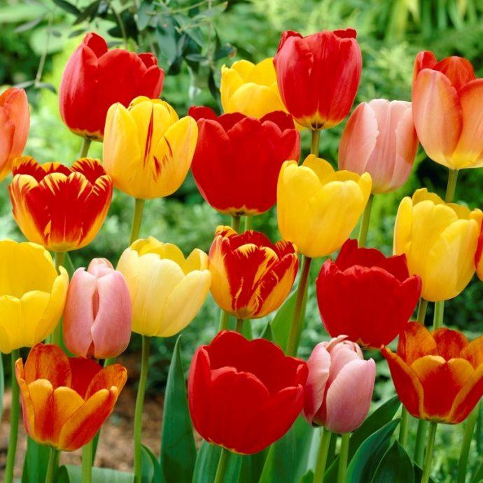 Tulipa Darwin Hybrid 'Darwin Hybrid Mixture'