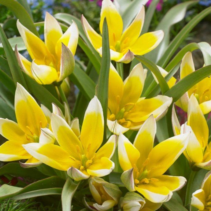 Tulipa Miniature 'Dasystemon Tarda'