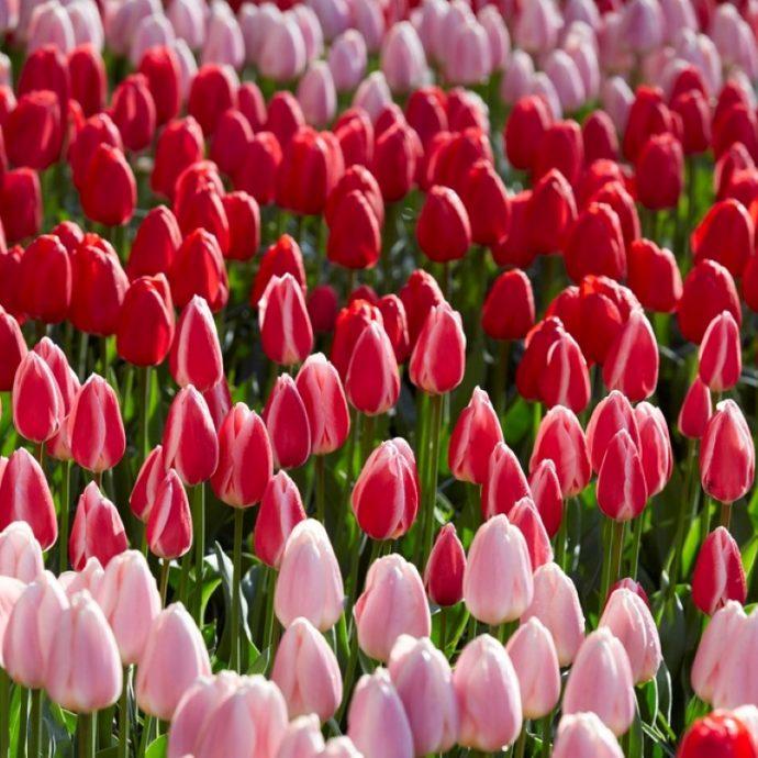 Tulipa Darwin Hybrid 'Delight Mixture'