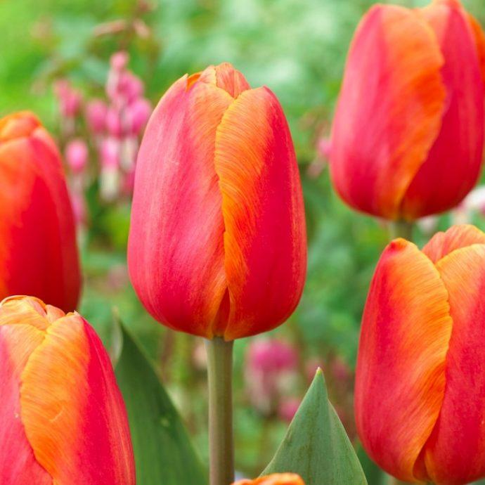 Tulipa Triumph 'Delta Storm'