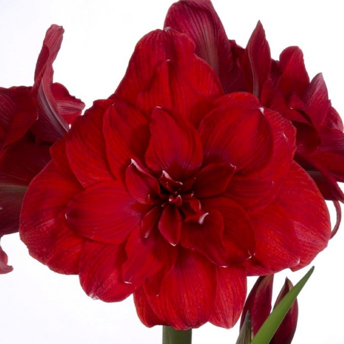 Amaryllis Dutch 'Double Dragon'