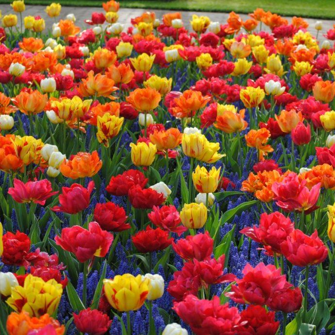 Tulipa Double Early 'Double Early Mixture'