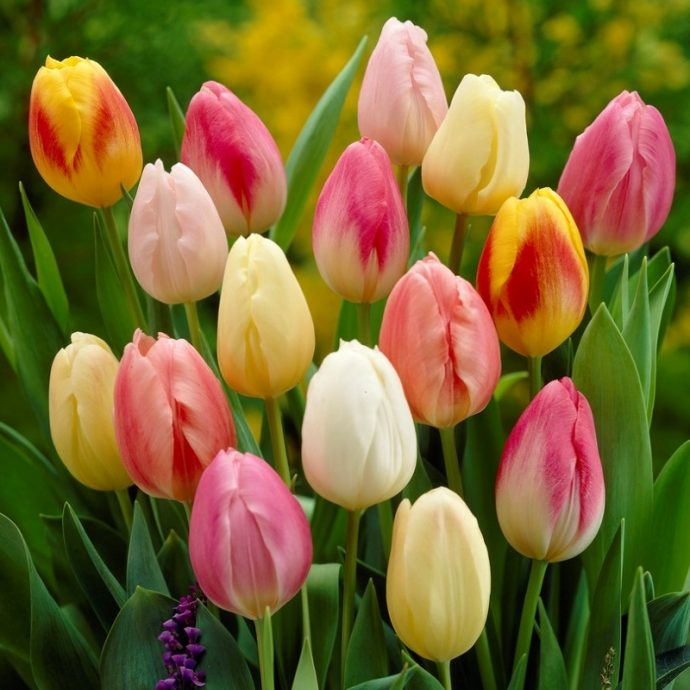 Tulipa Triumph 'Easter Egg Mixture'