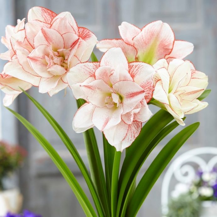 Amaryllis Dutch 'Elvas'