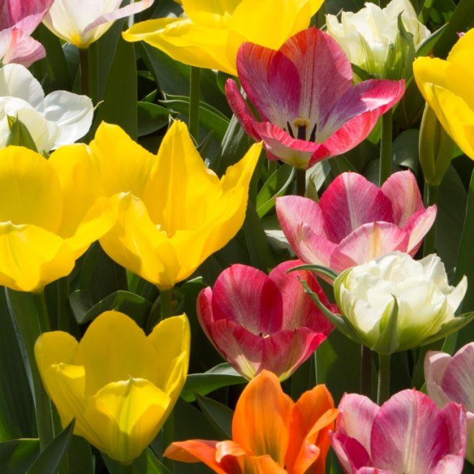 Tulipa Emperor 'Exotic Emperor Mixture'