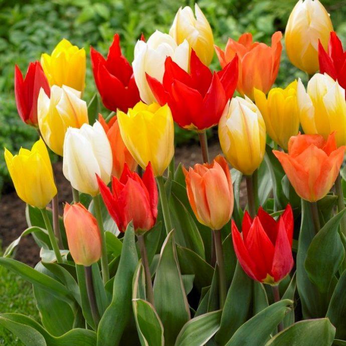Tulipa Emperor 'Emperor Mixture'