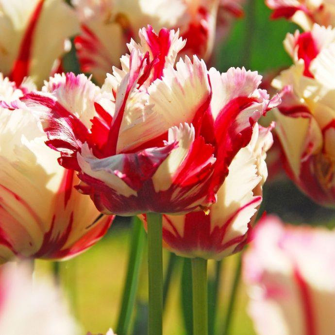 Tulipa Parrot 'Estella Rynveld'