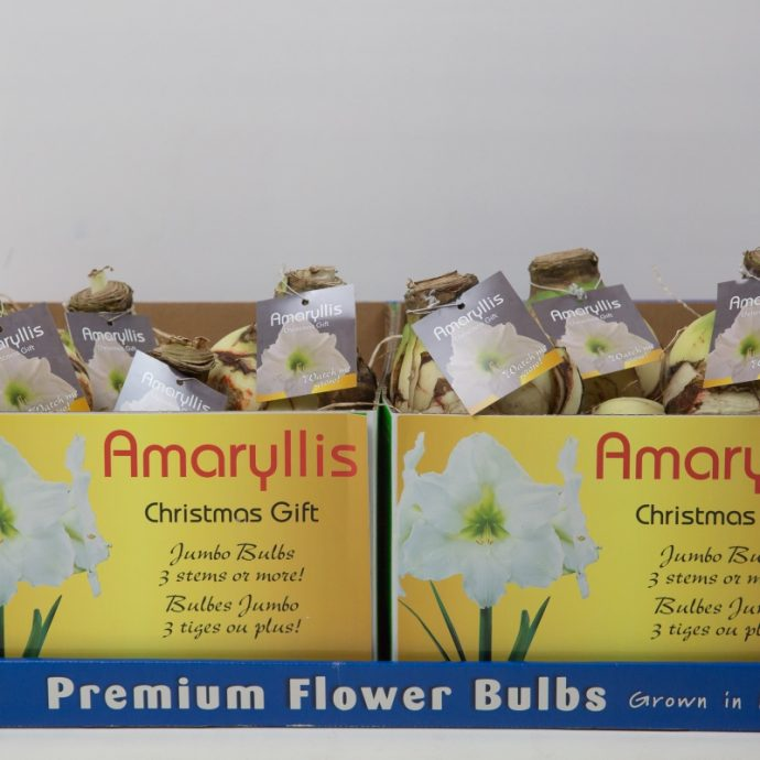 Assorted 'Exhibition Size Amaryllis'
