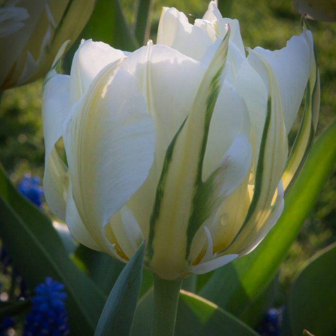 Tulipa Emperor 'Exotic Emperor'