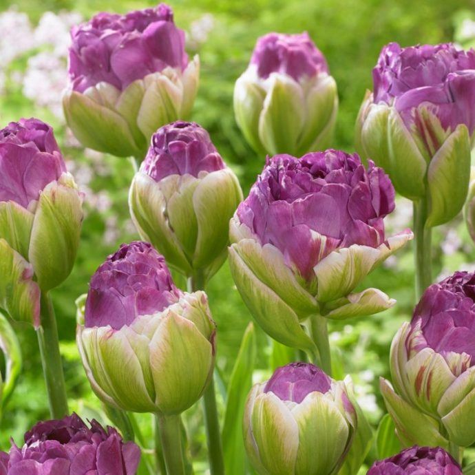 Tulipa Double Late 'Exquisite'