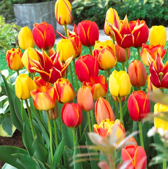 Tulipa Long-lasting Mixture 'Fire Glow Mixture'