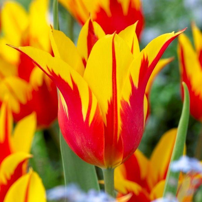 Tulipa Lily Flowering 'Fire Wings'