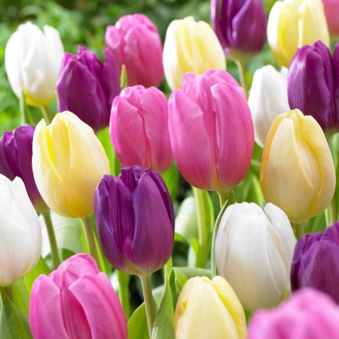 Tulipa Triumph 'Flag Mixture'