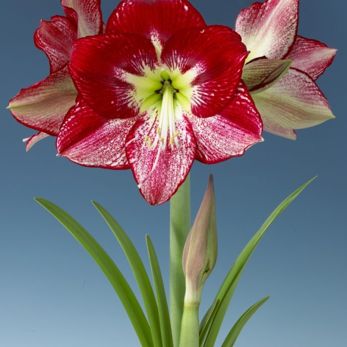 Amaryllis Dutch 'Flamenco Queen'