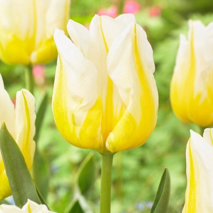 Tulipa Triumph 'Flaming Agrass'