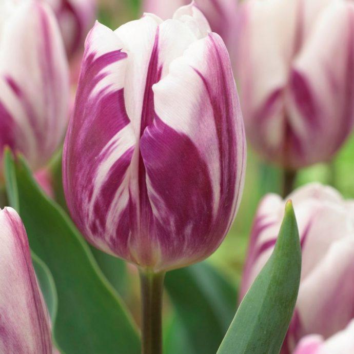 Tulipa Triumph 'Flaming Flag'