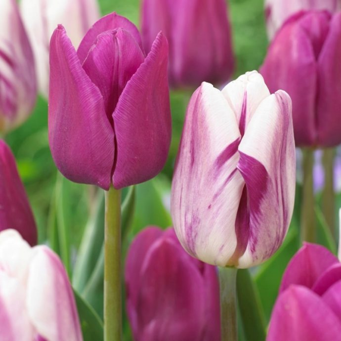 Tulipa Triumph 'Flaming Purple Mixture'