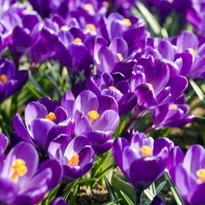 Crocus Large Flowering 'Flower Record'