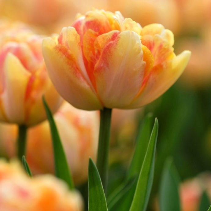 Tulipa Double Early 'Foxy Foxtrot'