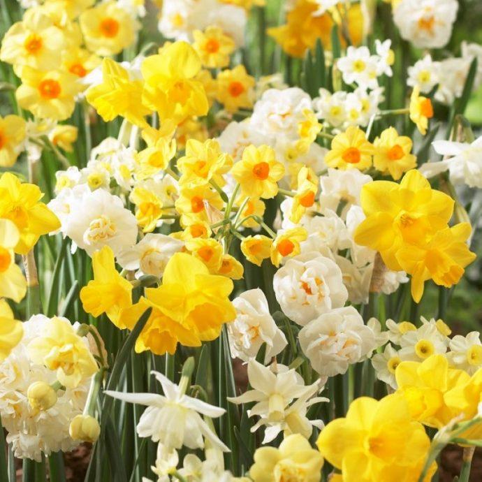 Narcissus Long-lasting Mixture 'Fragrant Mixture'