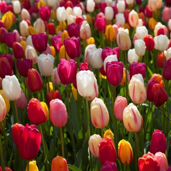 Tulipa Single Late 'French Mixture'