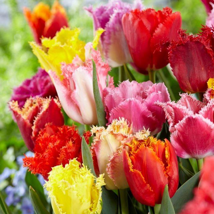 Tulipa Fringed 'Fringed Mixture'