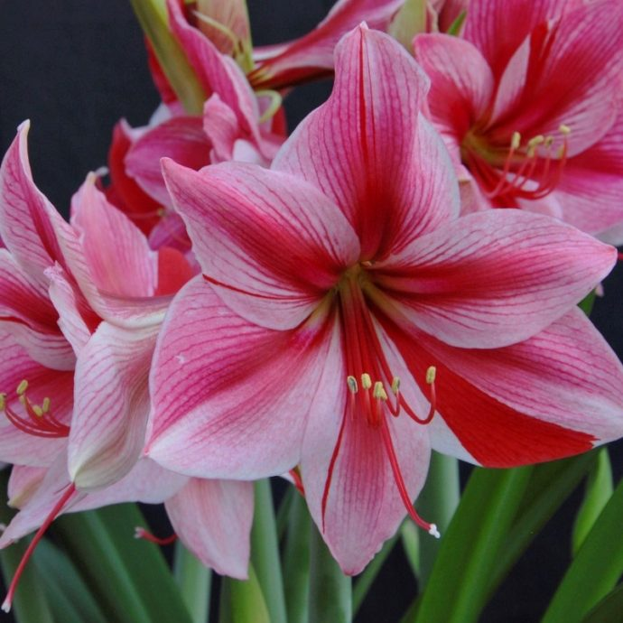 Amaryllis Dutch 'Gervase'