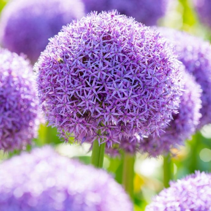 Allium Giant 'Globemaster'