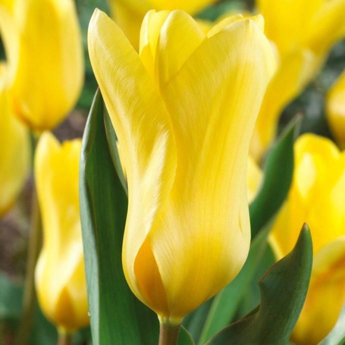 Tulipa Emperor 'Golden Emperor'