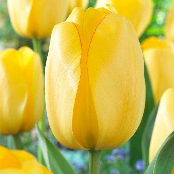 Tulipa Darwin Hybrid 'Golden Parade'