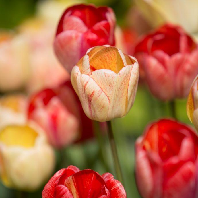 Tulipa Darwin Hybrid 'Gudoshnik'
