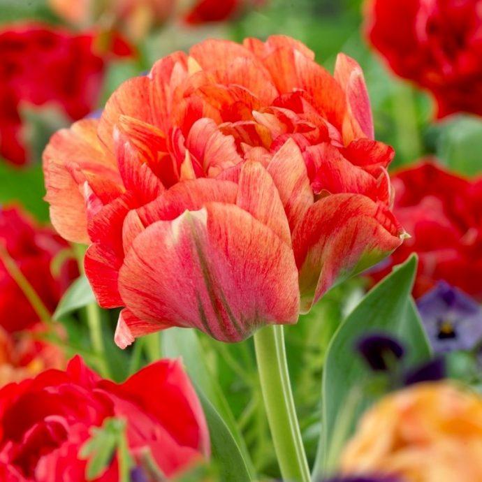 Tulipa Double Late 'Double Gudoschnik'