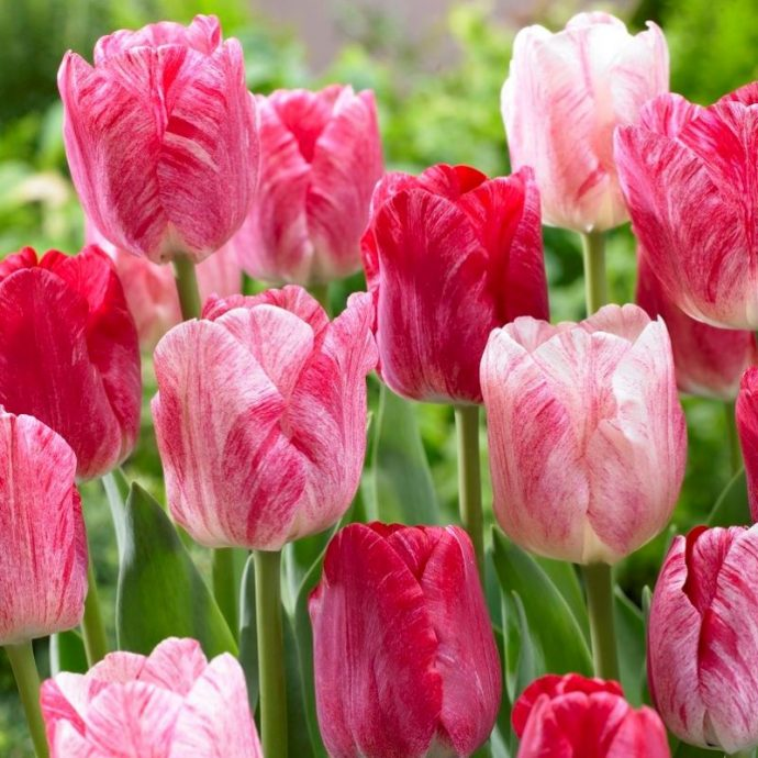 Tulipa Triumph 'Hemisphere'