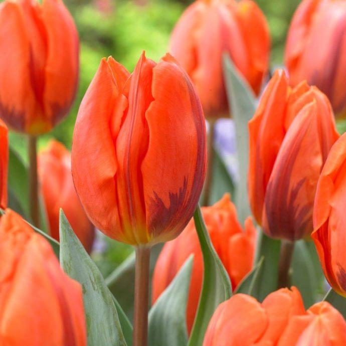 Tulipa Single Early 'Hermitage'