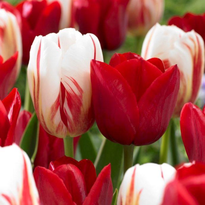 Tulipa Triumph 'Holiday Mixture'