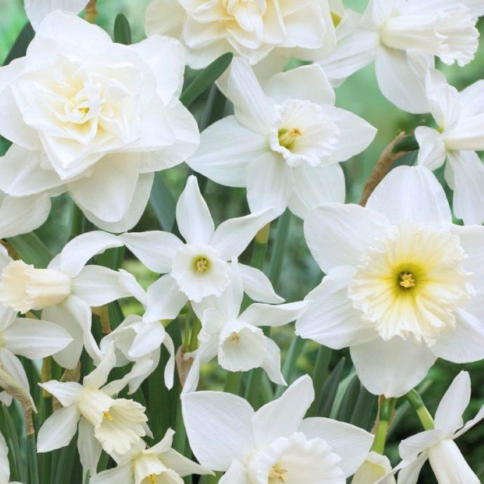 Narcissus Long-lasting Mixture 'Holland Mixture'