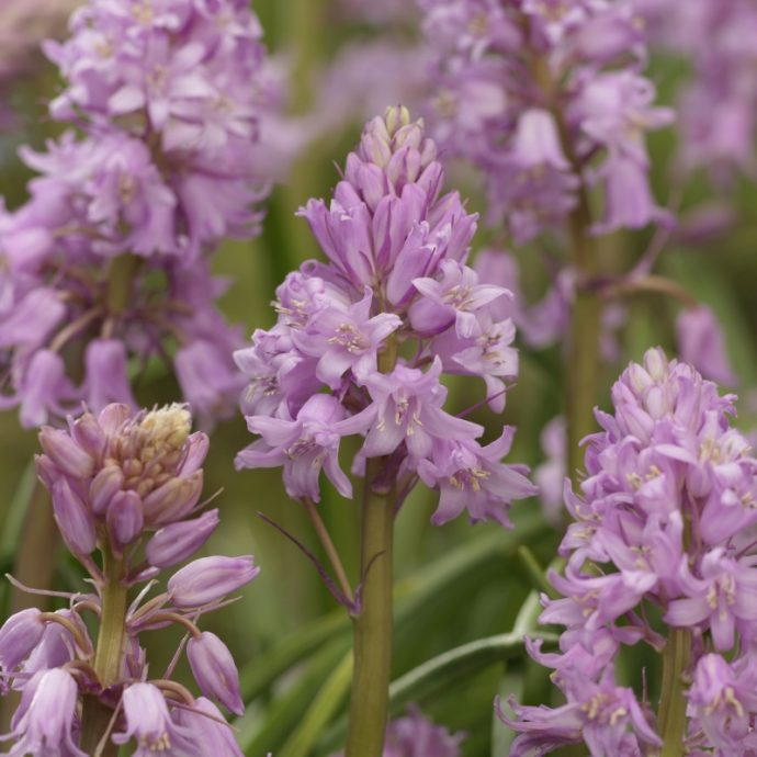 Hyacinthoides Hispanica 'Pink'