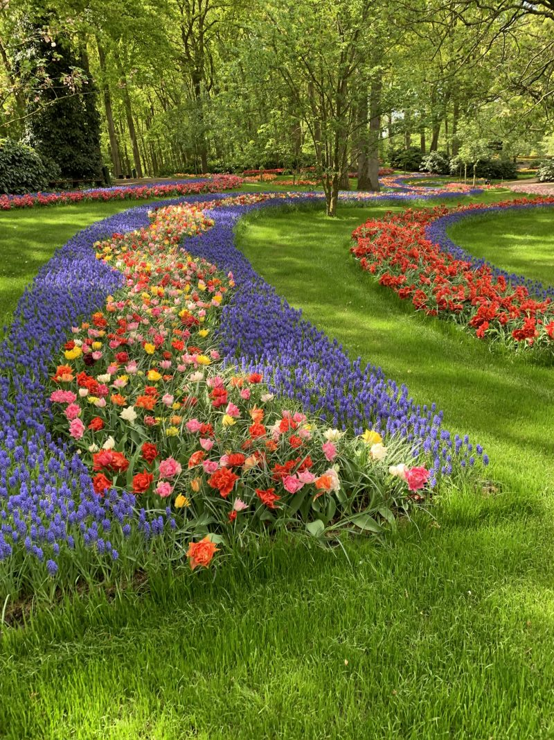 A mixture of double early tulips with muscari flowerbulbs planted on the edges in Keukenhof Gardens